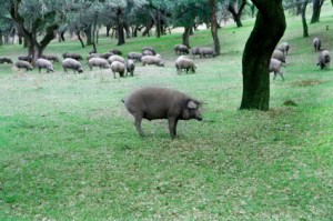 Les porks ibériques en Extremadura - Les pata negra