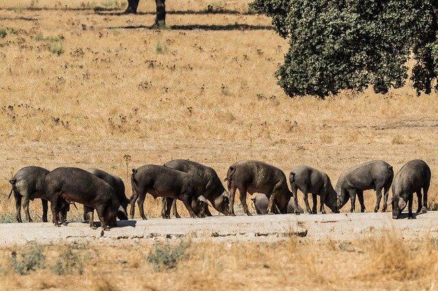 Carne iberica fresca: da dove viene e quanti tagli ci sono