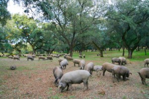 Les porks ibériques en Extremadura - La dehesa