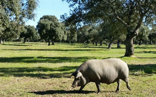Miti e leggende. Il prosciutto iberico di maiale femmina è migliore di quello di maiale maschio
