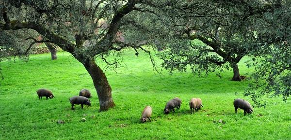 Dove vengono allevati i maiali iberici?
